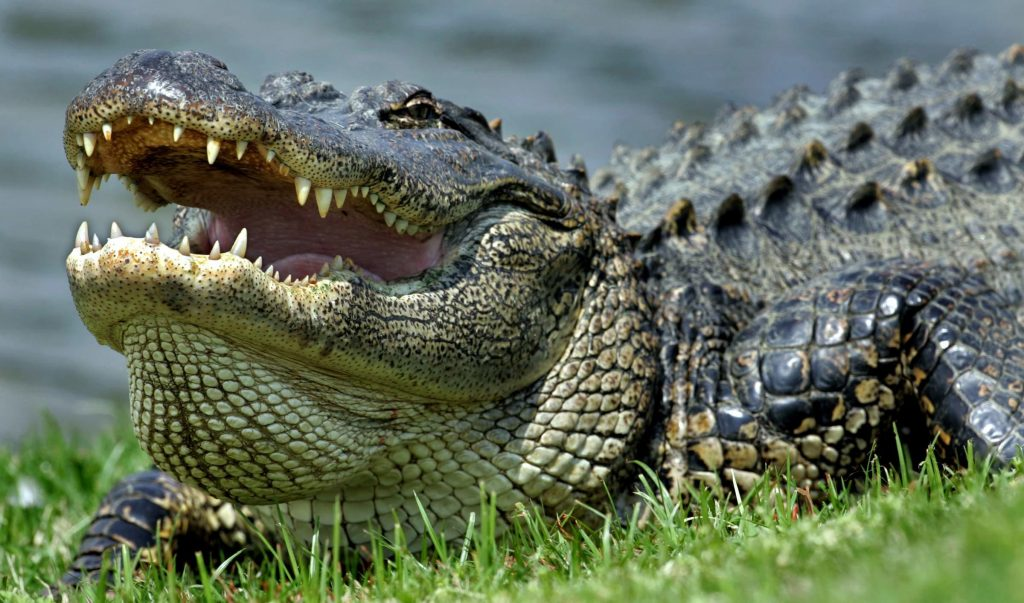 Alligators Of Hilton Head Island